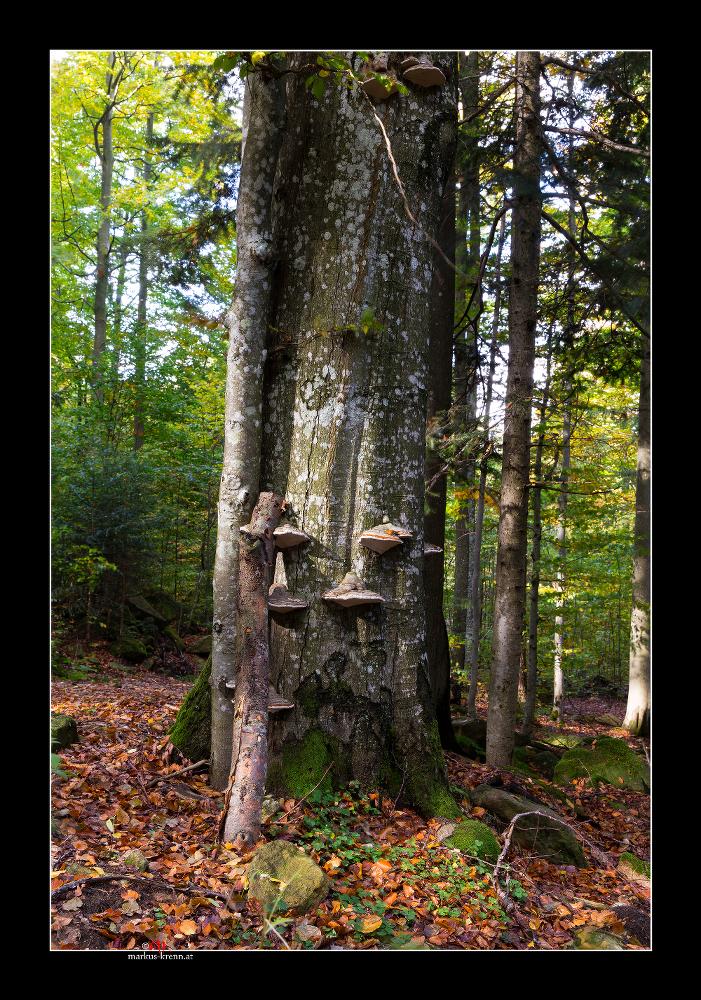 Buche mit Baumpilz