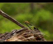 Libelle small