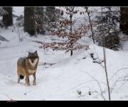 Wolf im Schnee I